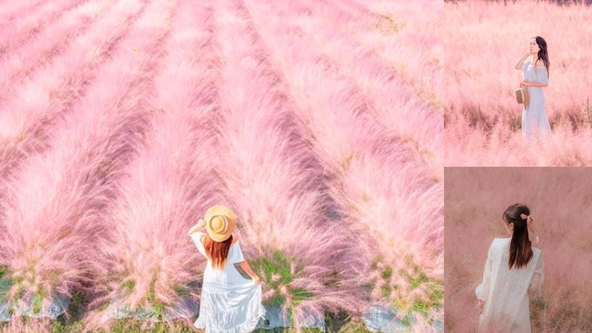 「粉黛亂子草」台灣也看得到!千坪秘境「粉紅棉花糖花海」太浪漫,限定美景宛如置身韓國秋天中💗