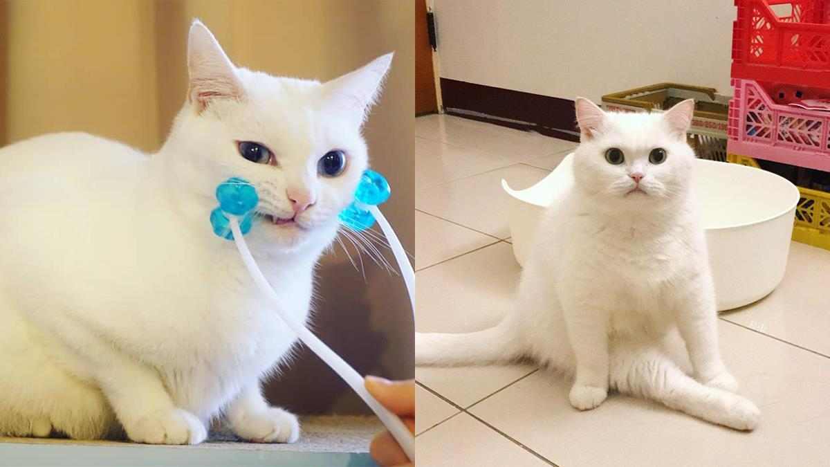 貓貓控直接被萌暈!一定要追蹤的「台灣網紅白貓」,豆漿、波波、爽爽要用可愛來融化你的心♡