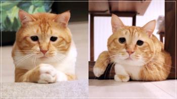 到底在委屈什麼啦!日本爆紅「苦瓜臉貓咪」魔性表情超廢萌,圓滾身材+憂鬱外表根本療癒圈粉王💓