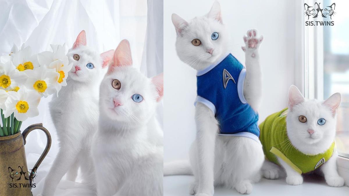雙眼不同夢幻瞳孔色也太幸運?靈氣逼人的雙胞胎貓咪,光看眼睛就感受到貓皇的霸氣!