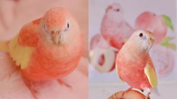 心動警報!超夢幻「水蜜桃色小鸚鵡」照片自帶甜甜氣場,粉嫩混色羽毛就像盛開在春天的櫻花~