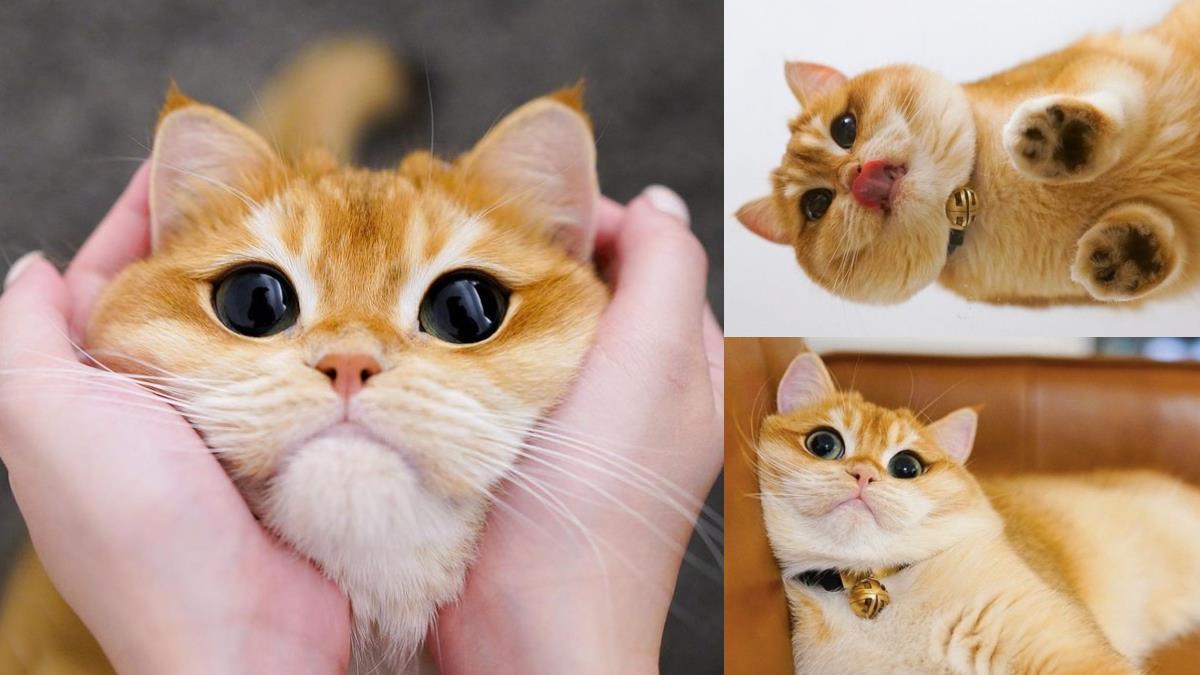 眼睛擁有宇宙的縮影!超萌金色英國短毛貓根本是「真實版鞋帽劍客」,用它的大眼來瞬殺眾人心~