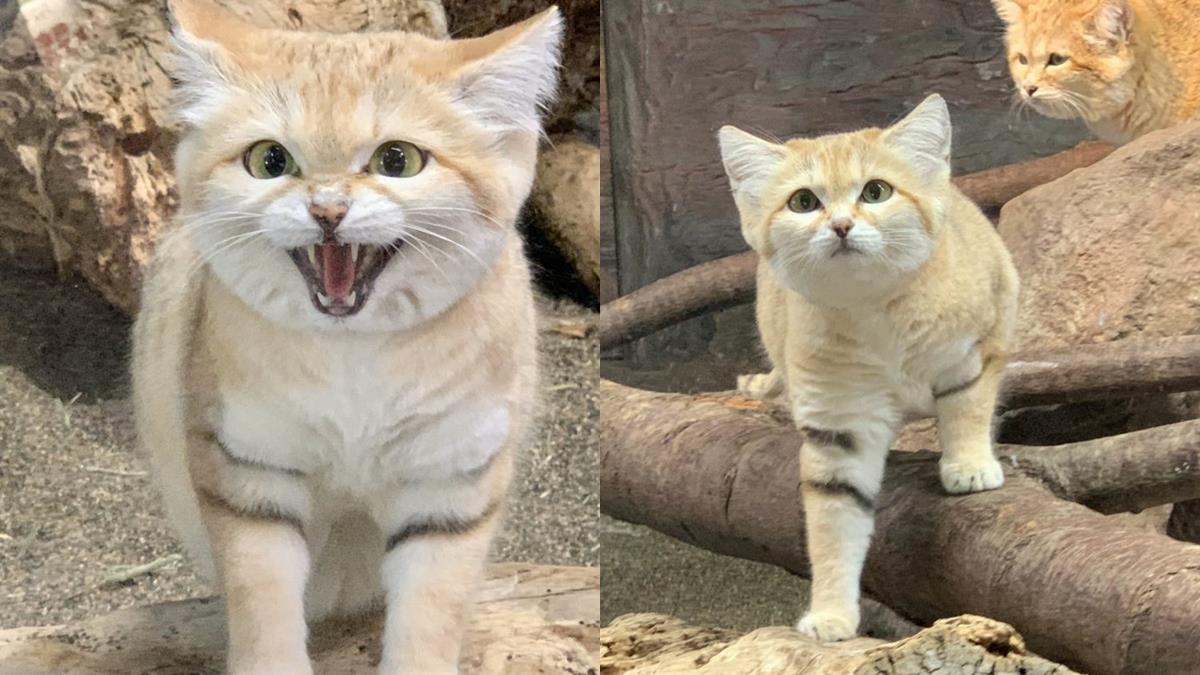 沙漠限定的「奶油小惡魔」!那須動物王國的超新星「沙漠貓」,又萌又可以耍狠根本百變教主!