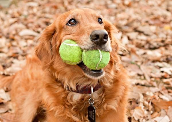 兩隻黃金獵犬爭球玩,最後得勝的竟然是...