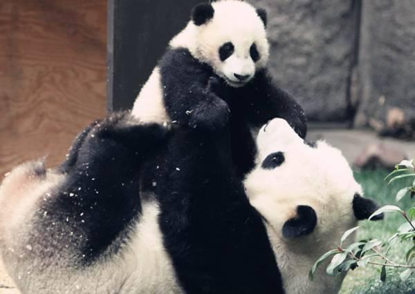 小熊貓的噴嚏到底有多大聲?不只熊貓媽媽,連我們都會嚇到!