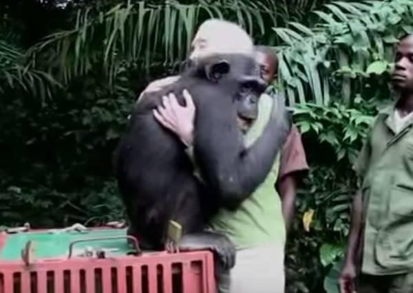 獲救的大猩猩被野放時,走出籠子做的第一個舉動讓在場所有人都為自己工作感到驕傲!