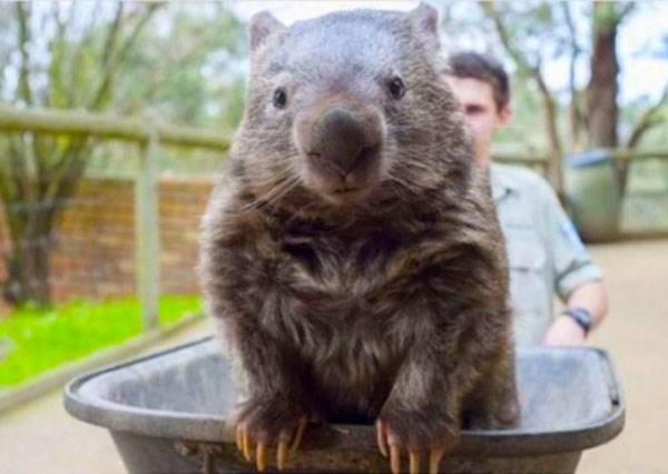 這種動物不但會翻肚討摸,還可以跟無尾熊、袋鼠PK萌度,澳洲特產都這麼可愛嗎?