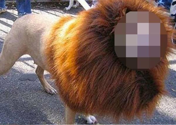 主人太會抓角度,讓傻憨黃金獵犬也能一秒變猛獅!