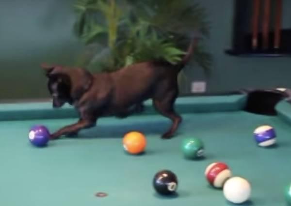 吉娃娃到底有多愛玩球?讓牠只要站上撞球檯,就變成清空球桌的超強高手!