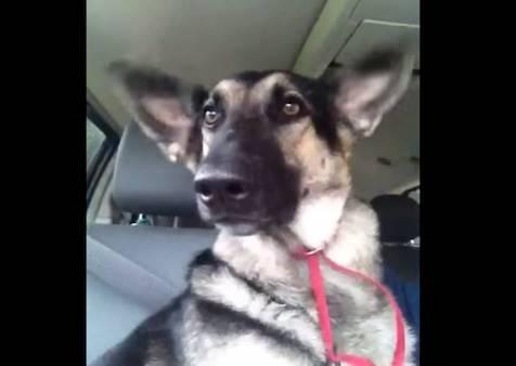 這隻狗狗被說是汪星人舞王,但不是靠身體,而是靠耳朵!?