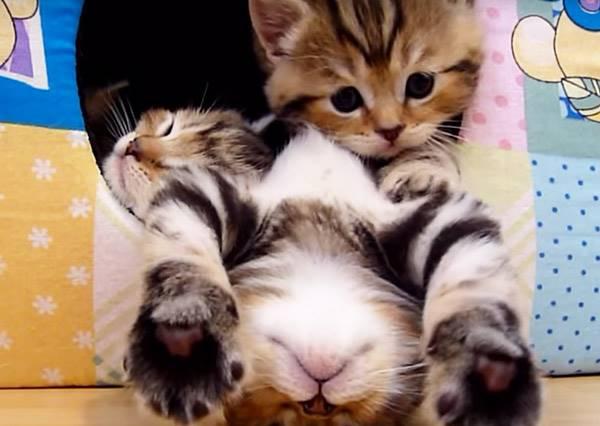 貼心小貓想出門又怕吵醒睡翻天的同伴,有禮貌的程度讓人好想「抱緊」處理!