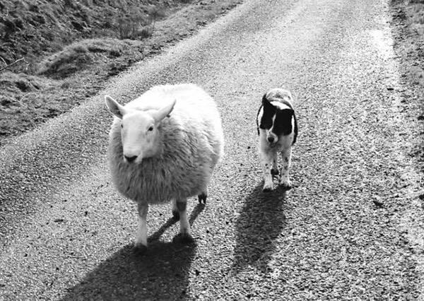 小綿羊從小跟牧羊犬一起長大,結果牠真的把自己當狗了!?