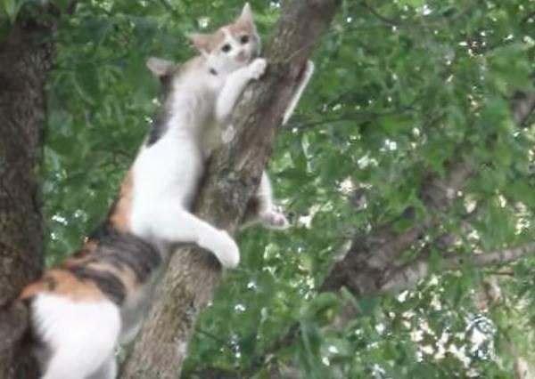 貪玩小貓只會爬樹不會下來,愛子心切的母貓要怎麼救牠下來?