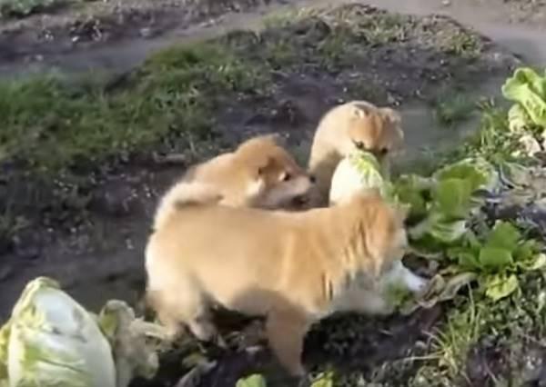 「柴柴」VS「菜菜」!直擊狗狗在菜園練搏擊,對方卻完全不還手!