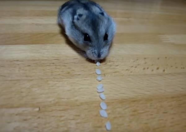 主人想知道小倉鼠嘴巴能塞多少東西,就把米粒排成一排做實驗,事實證明牠就是一台米粒吸塵器!