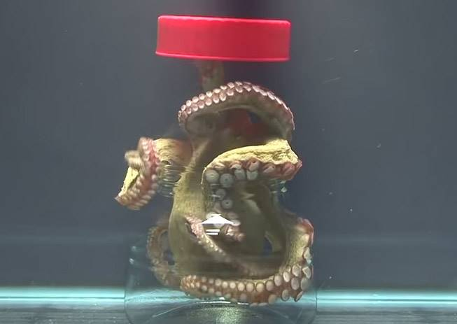 被關在玻璃瓶中的章魚哥該如何脫困?你一定沒想過他這麼聰明
