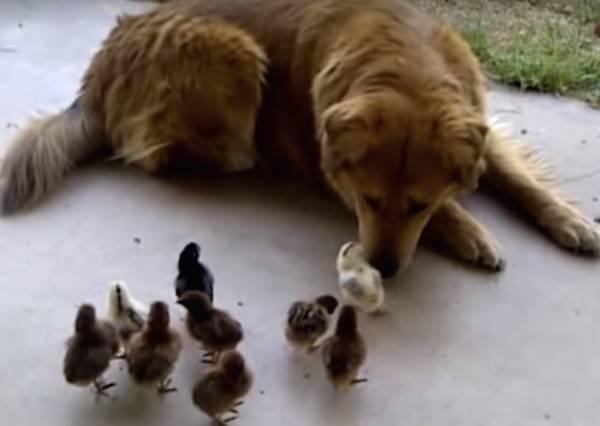 有一種愛叫做獵犬與小雞!這隻大狗溫柔對待幼雛的模樣讓主人大吃驚