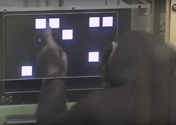你自認比猩猩聰明嗎?不如和牠一起來場記憶力挑戰賽!