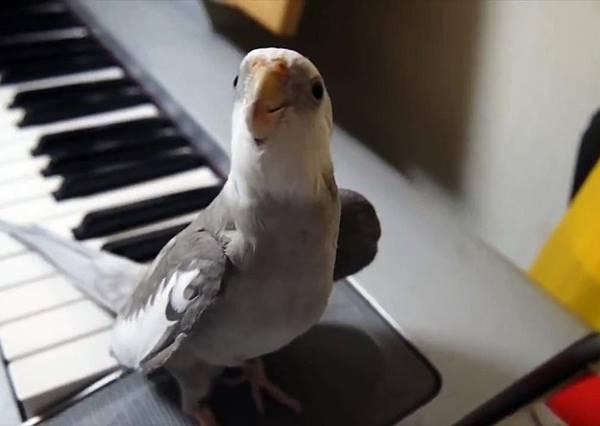 龍貓主題曲已經聽過N百次,但你聽過讓鳥當主唱的嗎?
