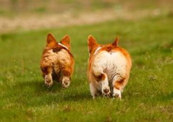 這4隻科基在草地上慢動作奔跑,夢幻到讓你以為自己到了天堂!