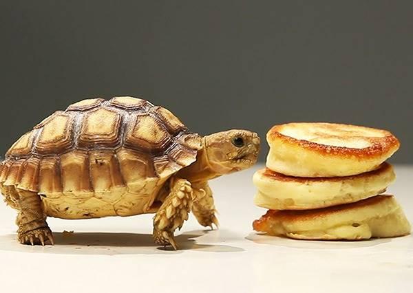 寵物影片這麼多,但你絕對沒看過烏龜第一次吃鬆餅的反應!