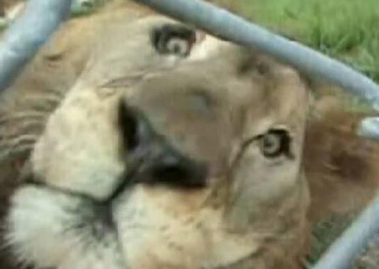 這隻獅子受困馬戲團鐵籠13年,當牠第一次踏上草地的反應讓所有人類都愧疚!