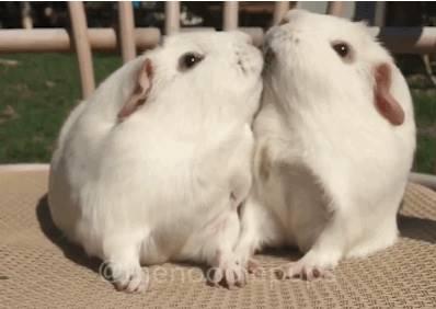 這兩隻天竺鼠在玩食物拔河,吃著吃著牠們就曬起恩愛了!?