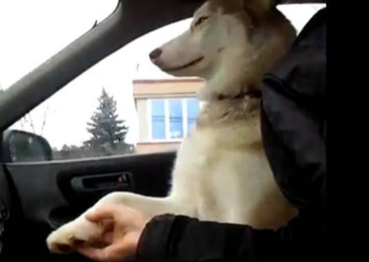 膽小哈士奇沒安全感,每次坐車就會要求主人讓牠享受女朋友般的待遇!
