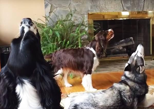 這隻狗狗想和哈士奇吵架,叫著叫著最後竟然變成飆高音大賽?