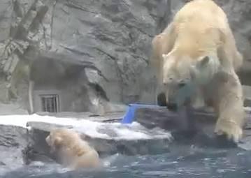 還不會游泳的小北極熊失足掉進水裡,媽媽沒有救牠,反而被大家力讚是最棒的典範!?