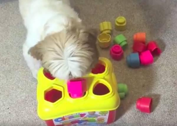 這隻會算數的西施犬,要來證明牠就是天才狗!