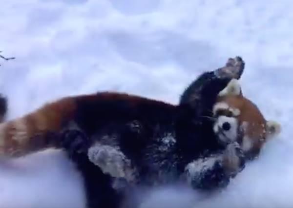 小浣熊開心玩雪已經夠可愛,如果又有同伴跟牠一起打雪仗萌度X100倍!