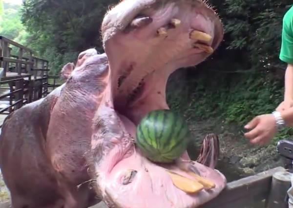 當整顆西瓜被放進河馬張開的口中,下一秒發生的事讓全場的人驚呼不已!