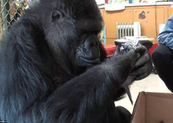 沒小孩的母猩猩想當媽,當她領養小貓咪的模樣,讓每個人都眼眶紅了...