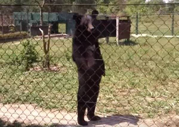 這隻熊堅持用兩隻腳走路,背後原因讓所有人類都覺得愧疚...