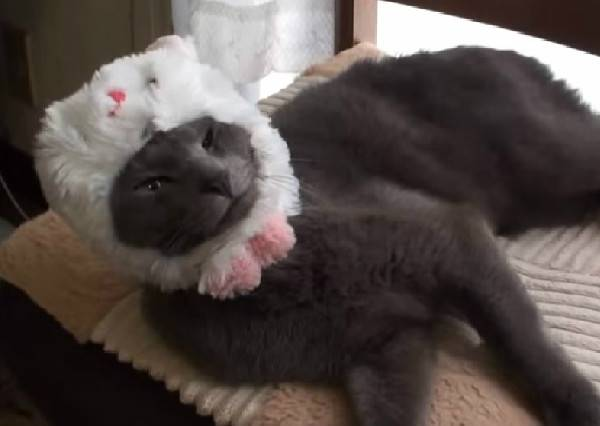 是想討紅蘿蔔吃嗎?不用主人動手,這隻神貓自己就會戴上兔子帽!