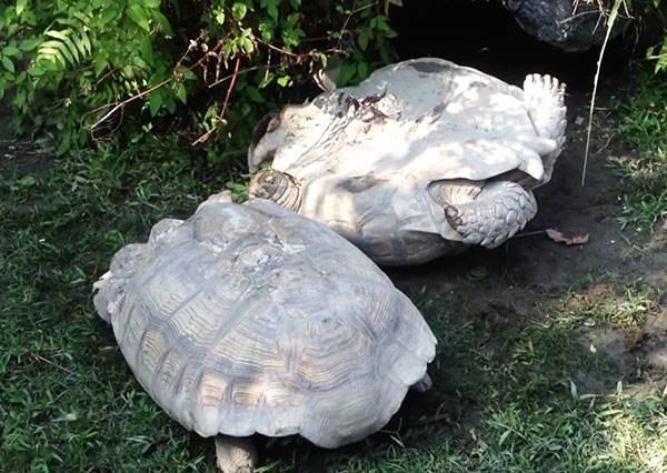 木柵動物園烏龜摔到四腳朝天,結果幫助牠的英雄不是人而是一隻龜?