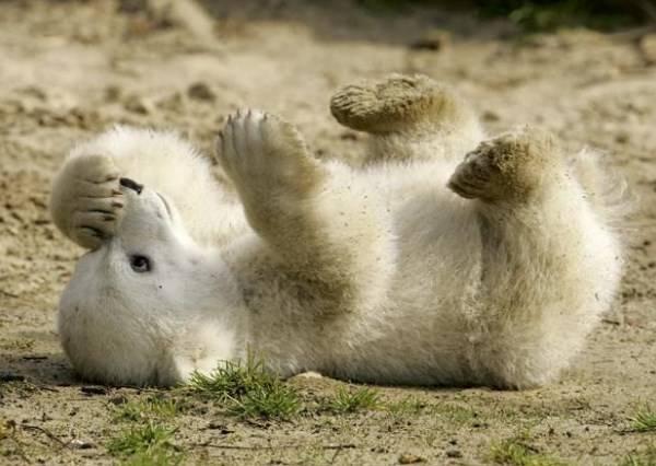 左扭右扭就是翻不了身!超萌小白熊翻身實錄,1:27秒讓你想起立叫好