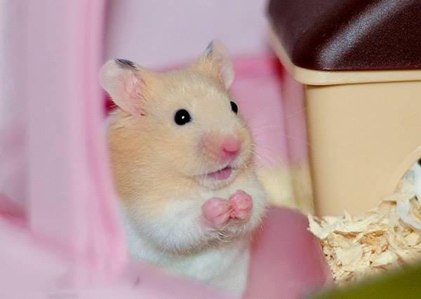 當我走進寵物店一看,這隻倉鼠的後空翻神技讓我想跟老闆說他壞掉了~