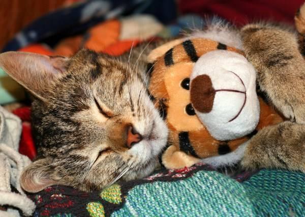貓咪從鄰居家偷隻老虎玩偶,默默走到後院後,居然做了這個超級可愛的動作!