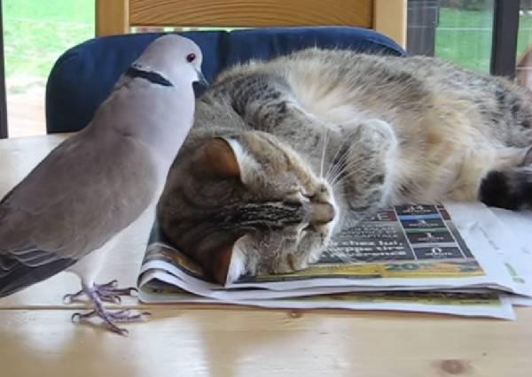 鴿子為了要貓咪起床陪牠玩,竟然一直這樣做?喵大爺1:19秒的反擊絕對讓鴿子再也不敢了