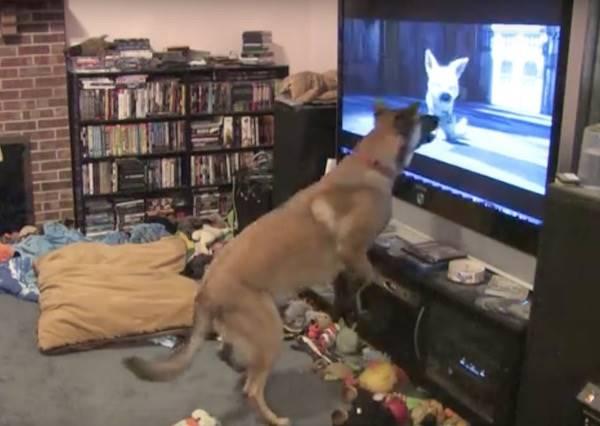 原來狗狗也會追星,看到牠最愛英雄的角色出現在螢幕時,這一切都合理了!!