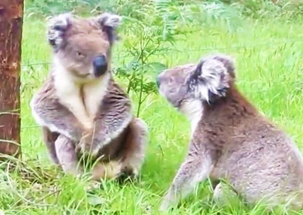 先不提無尾熊打架有多稀奇,你甚至還可以聽到牠們「嗆聲」!?