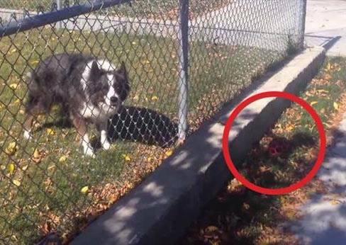 散步時絕對不要經過這隻天才狗,因為牠有辦法讓你無法停止陪牠玩球