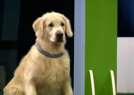明明是很嚴肅的訓練比賽,但第50秒黃金獵犬出場後,用毫無節操的失控模樣爆紅了!