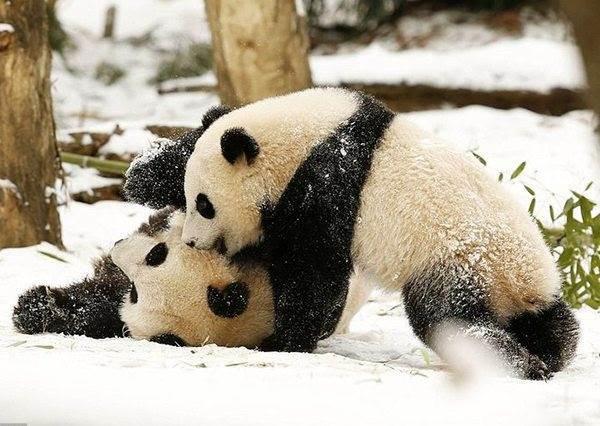 熊貓寶寶第一次到看到雪不是打雪仗,而是把自己當成雪球在玩耍!?