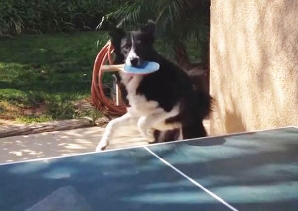 歡迎來到狗狗運動會,別懷疑超聰明神犬會打乒乓球給你看!