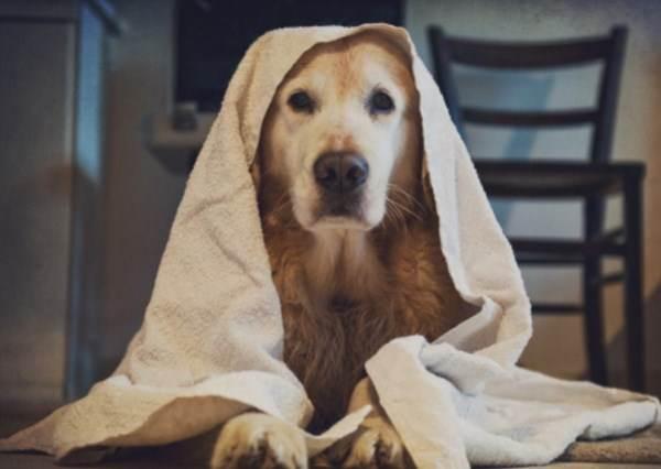 這隻4個月大的黃金獵犬最喜歡洗澡,不但會自己拿毛巾擦身體!?