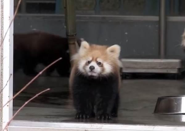 浮誇演技跟誰學?嚇到翻過去的超膽小浣熊在網路上爆紅啦 ...