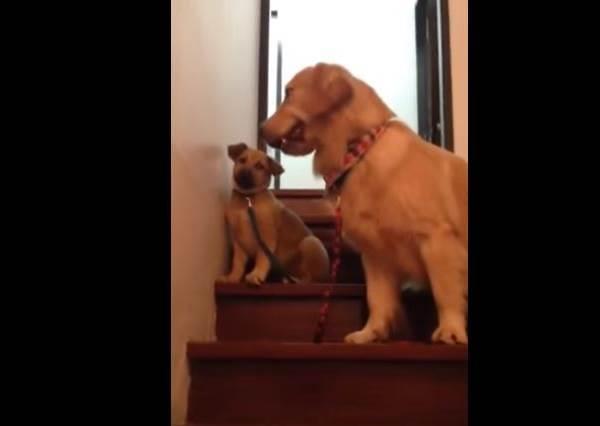 黃金獵犬變魔鬼教練!小狗狗學下樓梯途中落跑,牠竟然還...